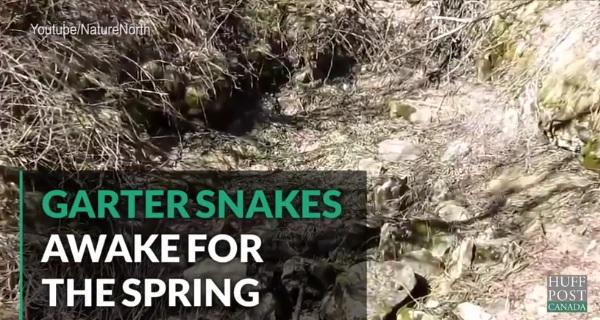 世界有数のヘビの巣穴、「ナルシス・スネーク・デンズ」とは?