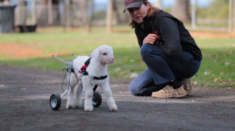 Frosty the goat learns to walk