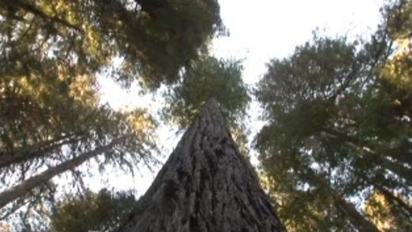 高さ115メートル!自由の女神よりはるかに高い「世界一高い木」がカッコよすぎる【動画】