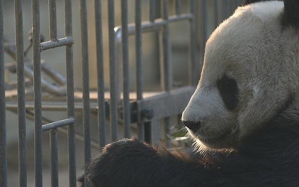 ジャイアントパンダ、絶滅危惧種リストから外れる