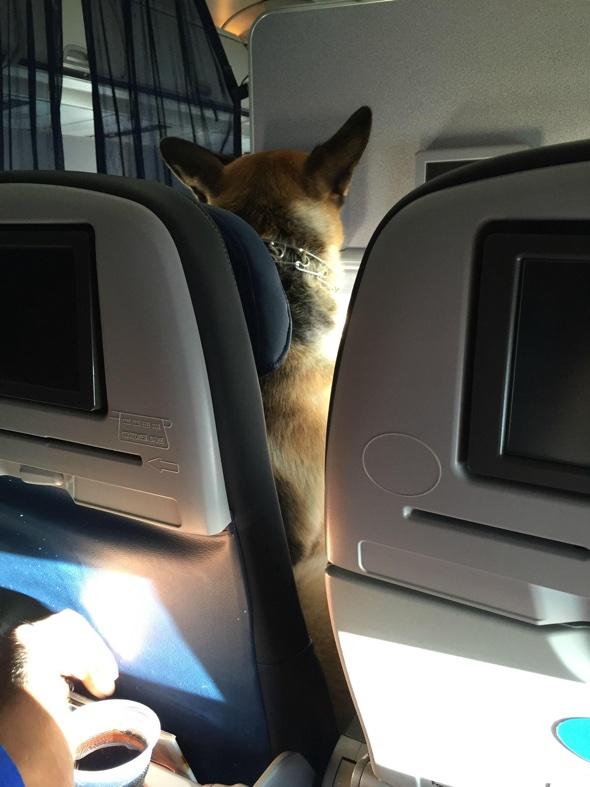German Shepherd sits in own plane seat like a human - AOL ...