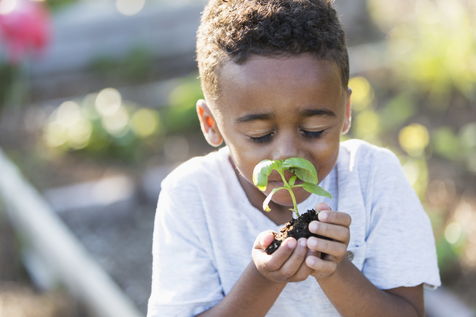 Little boy (5 years) in community garden, smelling fresh herb plant.