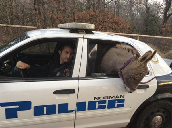 迷子のロバ、警察の好意でパトカーに乗せられるも見事なお土産を投下!大惨事にwww【動画】
