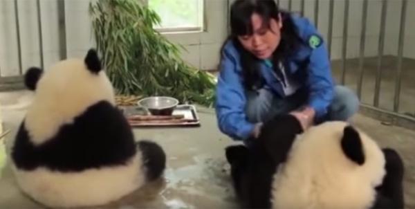 赤ちゃんパンダが食後に手をキレイキレイしてもらってて可愛すぎる【動画】