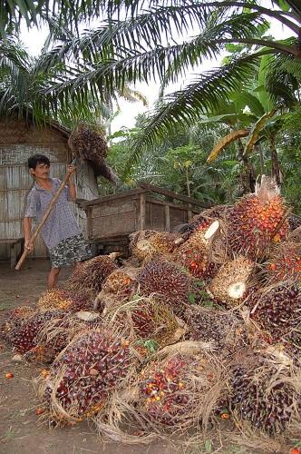 ●アブラヤシの実を収穫する農民=インドネシア・スマトラ島