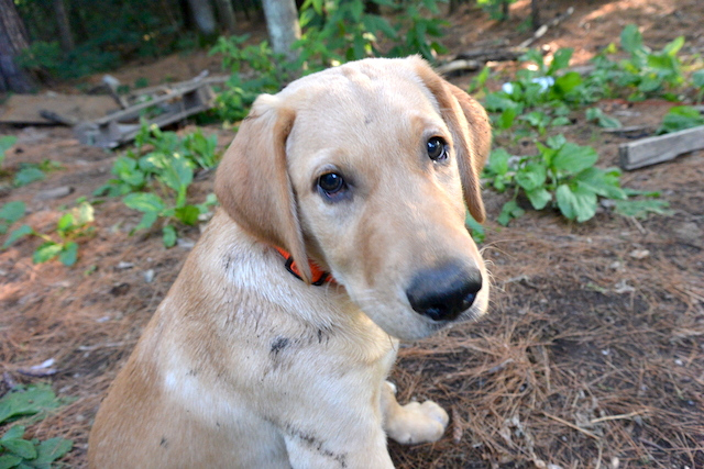 dog, yellow labrador retriever, yellow lab, dog days of summer
