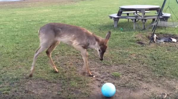 未知との遭遇かよ!ボールを初めて与えられた子ジカの反応が意味不明すぎるwww【動画】