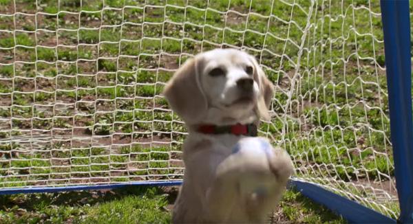 ギネス記録に認定!「世界一ボールをキャッチするワンコ」千葉在住のビーグル犬・プリンちゃんが可愛すぎる【動画】