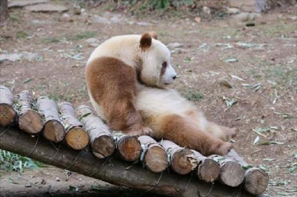 とってもかわいい! 世界でたった1頭の「茶色パンダ」