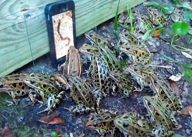 Video: Frösch drängeln sich vor Wurm-Porn auf Smartphone-Display