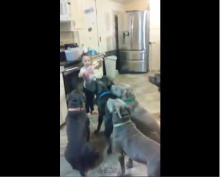 4歳の女の子がゴツい闘犬ピットブル6匹を完璧に飼いならしてスゴすぎるとネット上で話題
