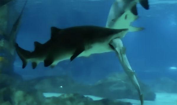水族館で巨大ザメが小ザメをガブリと振り回す恐ろしすぎる事件が勃発!【動画】
