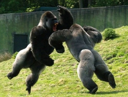 manliest photos on the internet, funny manly images, two gorillas fighting