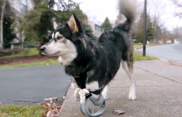 Derby the dog got 3D-printed paw prothethics, now watch him run