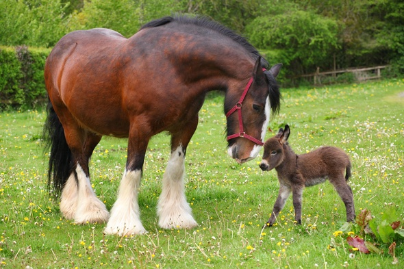 Baby donkey meets huge shire horse for first time (heart ...