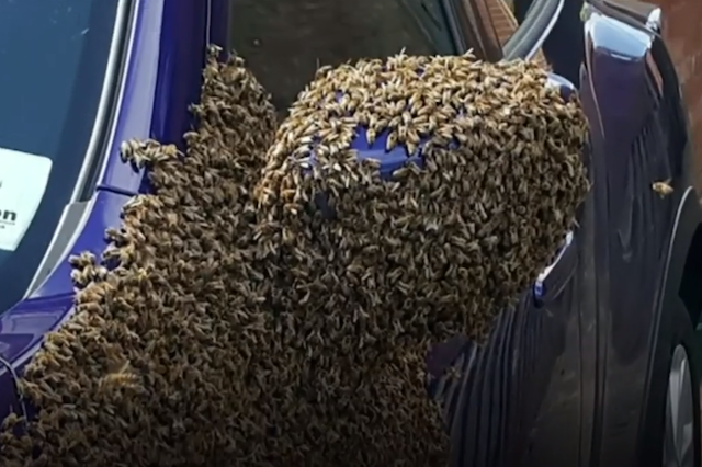 Thousands of bees swarm into auto  in Hull