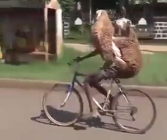 【二度見必須】自転車でひつじ2匹を背負い片手運転をする男