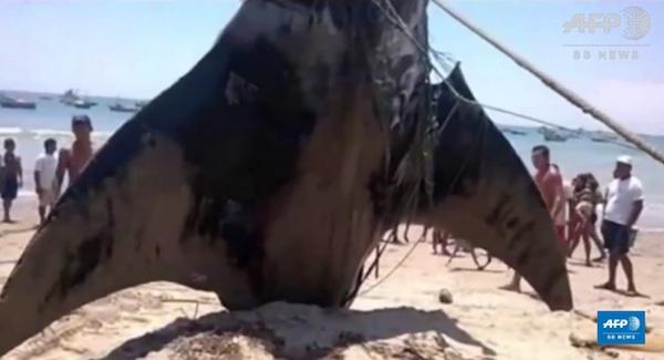 モビルアーマーかよ!8メートル、重さ1トンの巨大エイが水揚げされて話題に【動画】