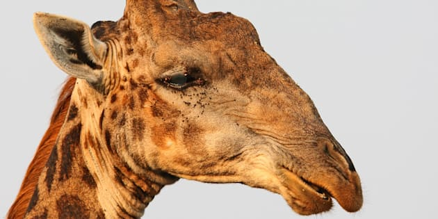 Mueren las tres jirafas de Cabárceno tras incendiarse la cabaña de su recinto