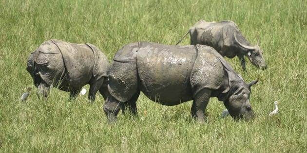 Al menos dos cazadores furtivos, devorados por leones cuando iban a cazar rinocerontes