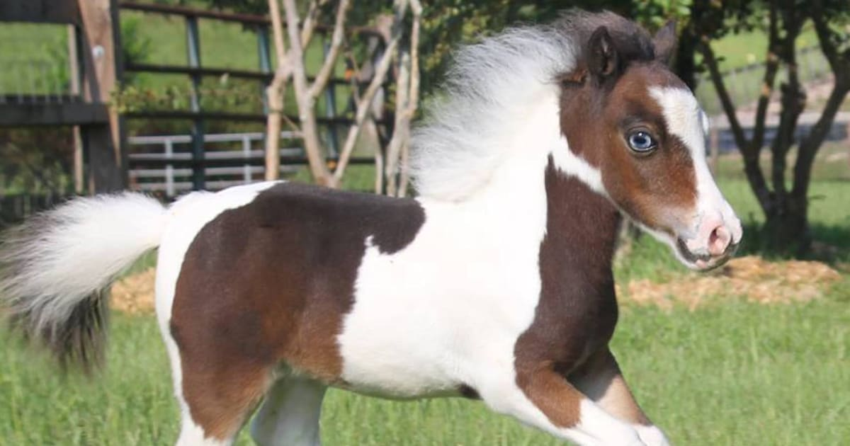 How Adorable Miniature Therapy Horses Are Helping Those In Need - Adorable miniature horses provide those in need with love and care