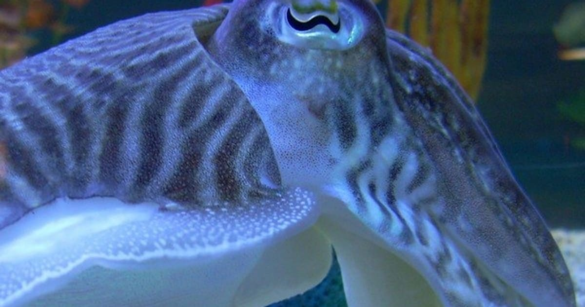 Cuttlefish Client Signature Inspired Display Tech Change Color Eat Pet Guppy
