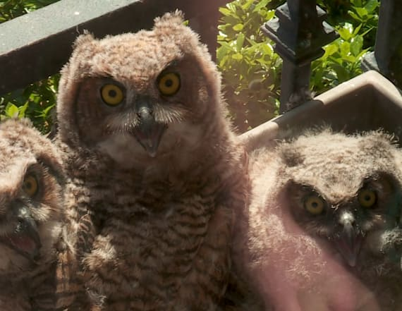 Orphaned bird joins famous owl nest
