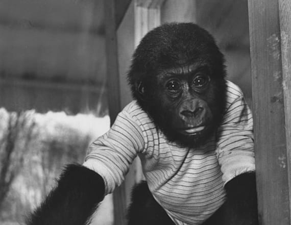 Oldest gorilla in captivity dies at 60 years old