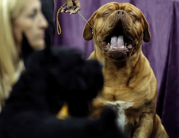 The funniest photos from the Westminster Dog Show
