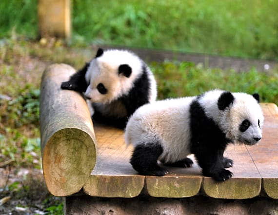 Twin giant panda cubs make their zoo debut