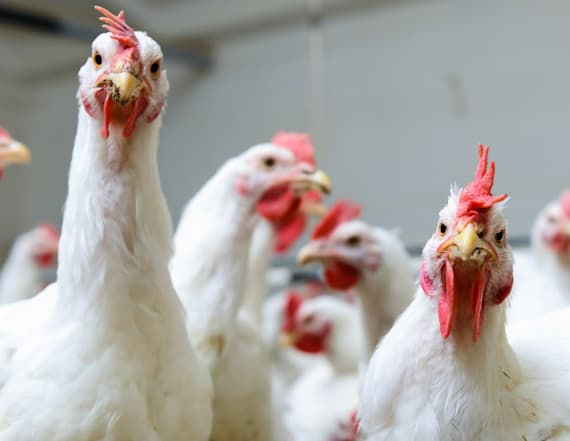 Study makes interesting discovery about chickens