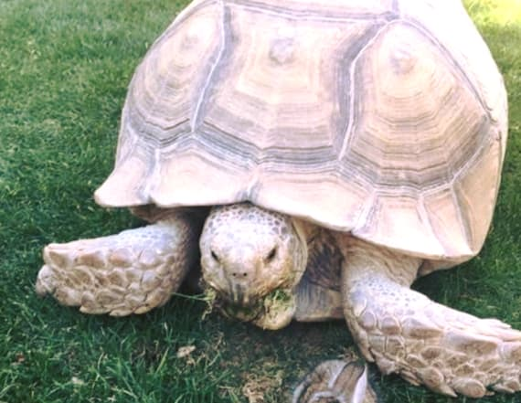 Tortoise adopts a tiny bunny friend