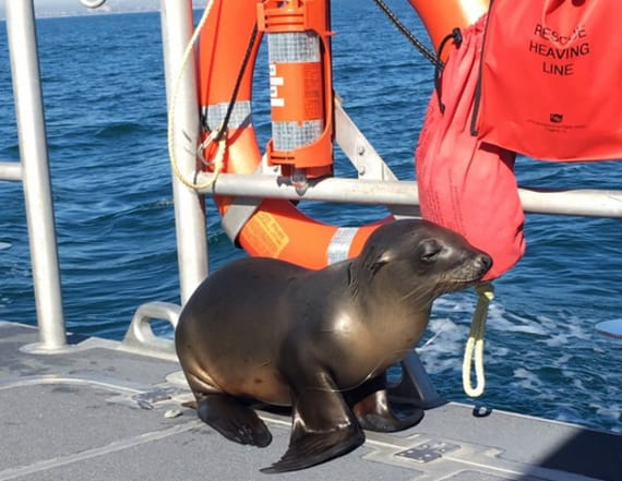 Baby sea lion shocks crew as it flops on a boat