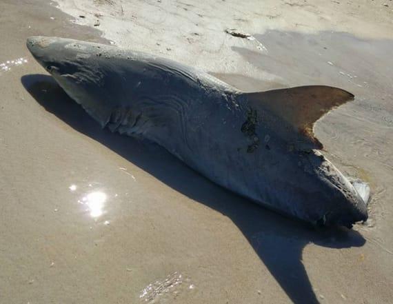 Half-eaten shark found on beach is a mystery