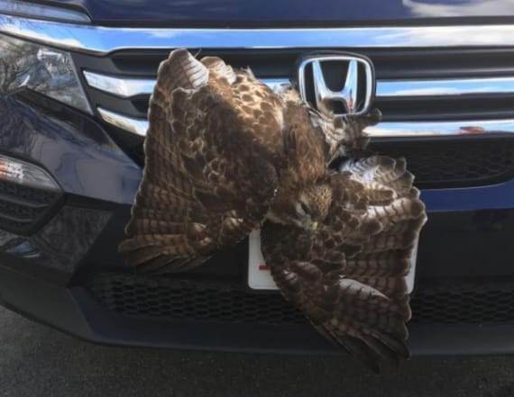 Hawk stuck in car's grille had to be euthanized