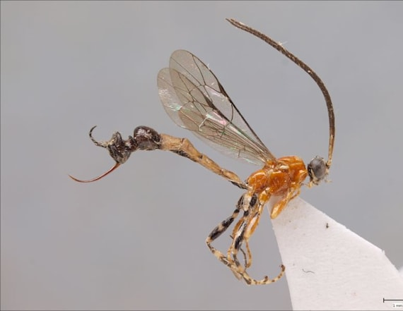Wasp species has appendage resembling ant head