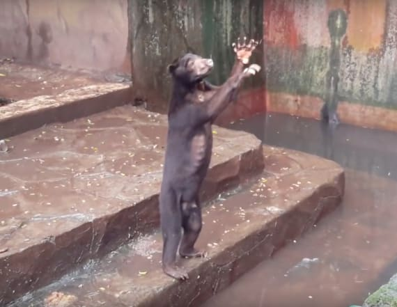 Video shows starving bears begging visitors for food