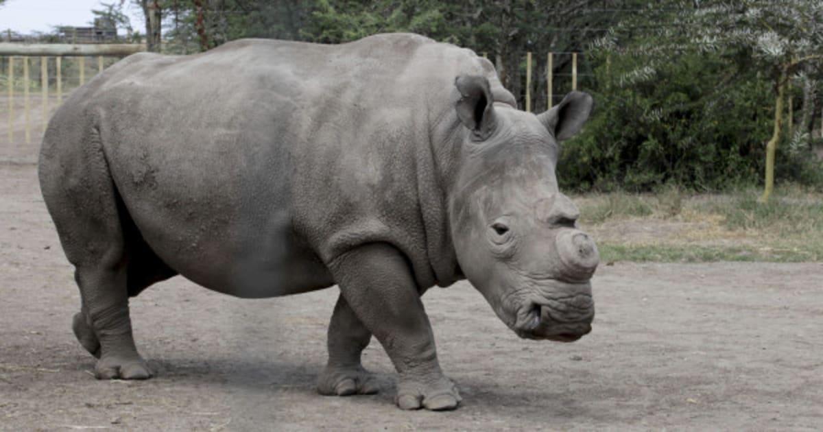 mort d 39 un rhinoc ros blanc du nord en r publique tch que il n 39 en reste que 4 dans le monde. Black Bedroom Furniture Sets. Home Design Ideas