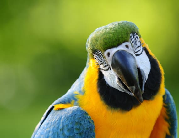 These wild parrots are addicted to drugs