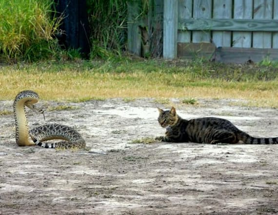 'Fearless cat' has showdown with rattlesnake