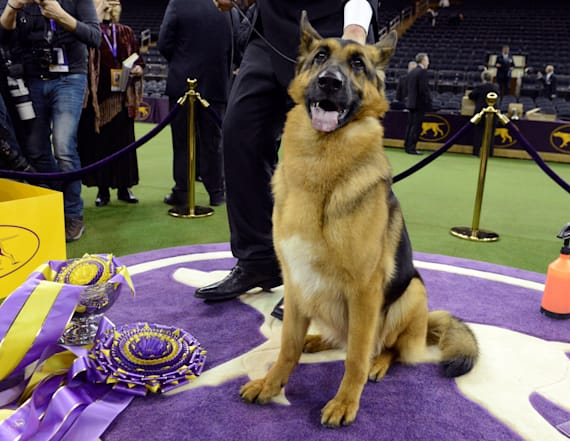 German shepherd wins Best in Show at Westminster