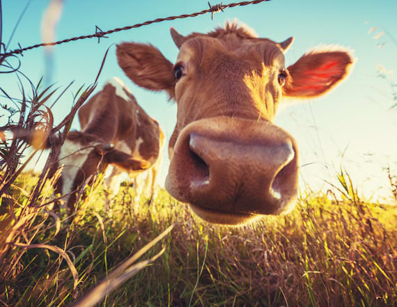 US farmers feed their cows one unlikely candy