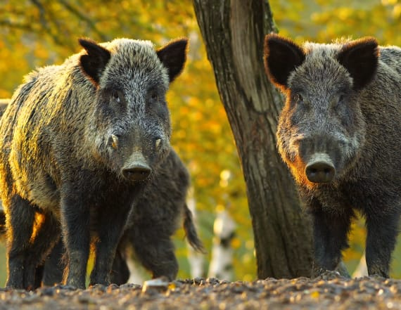 Wild boars kill ISIS militants in Iraq