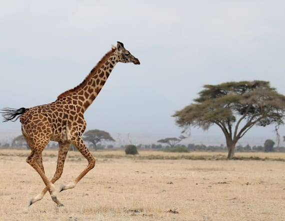 Adorable video shows giraffes playing soccer