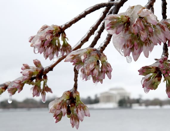 DC's cherry blossoms at risk after snowstorm