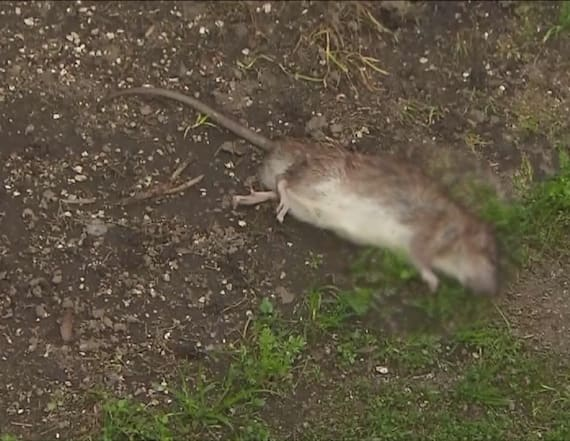 Woman's home infested with rats, landlord won't help