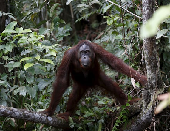 Orangutan rescued from rushing river