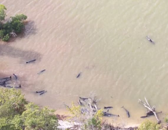 Over 80 dolphins found dead off Florida coast