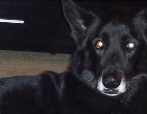 'Wolf hybrid' finally reunited with his family