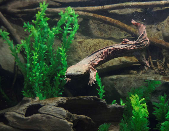 Slimy salamander aims to wow Bronx Zoo crowds